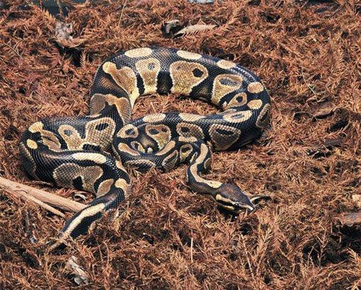 Самые ядовитые змеи в мире - бушмейстер