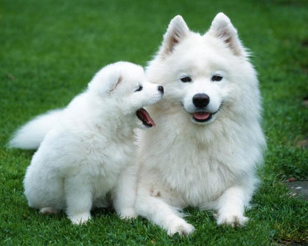 Самые дорогие собаки фото - Самоедская лайка