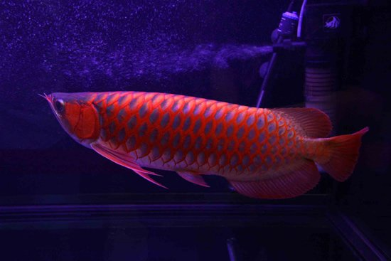 Самые дорогие животные фото - рыба дракон