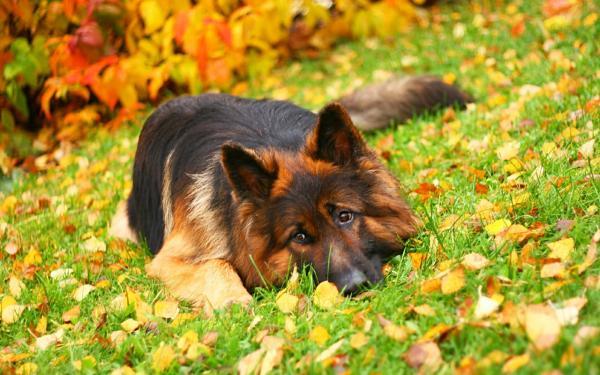 Самые злые собаки в мире фото - Немецкая овчарка