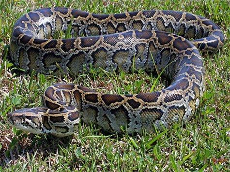 Самые большие змеи фото - Коричневый тигровый питон