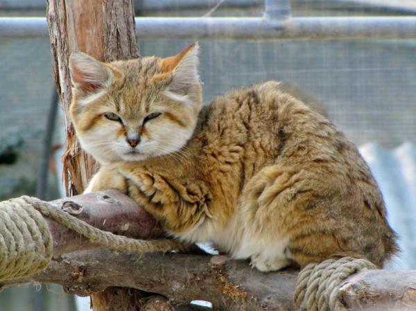 Самые красивые кошки фото - Барханная кошка