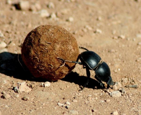 Необычное поведение животных - навозный жук ...