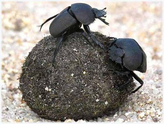 Самые сильные животные в мире фото - жук-навозник