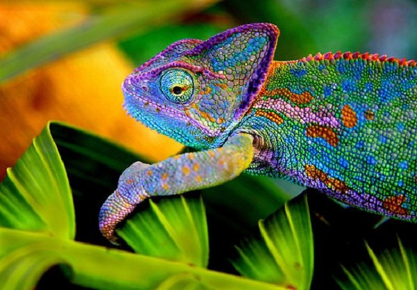Глаза животных фото - хамелеон