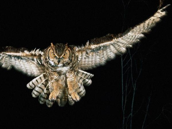 Хищные птицы фото самых страшных - Евразийский филин
