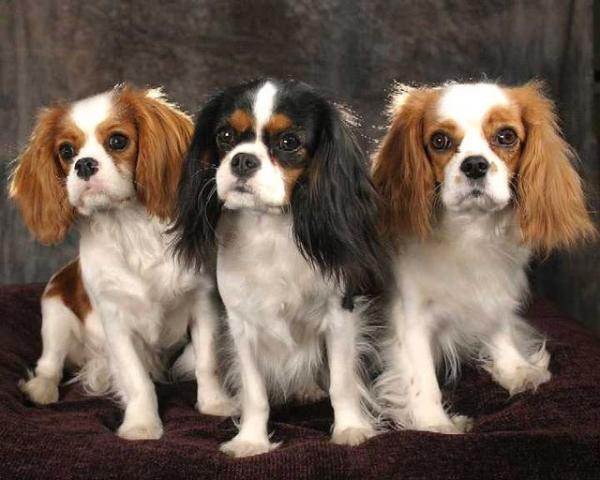 Самые дорогие собаки фото - спаниэль Кавалер Чарльз Кинг
