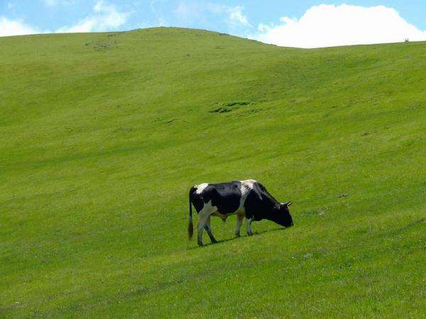 Самые дорогие животные фото - корова Мисси