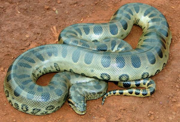 Самые большие змеи фото - Зеленая анаконда