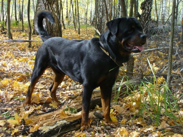 Самые злые собаки в мире фото - Ротвейлер