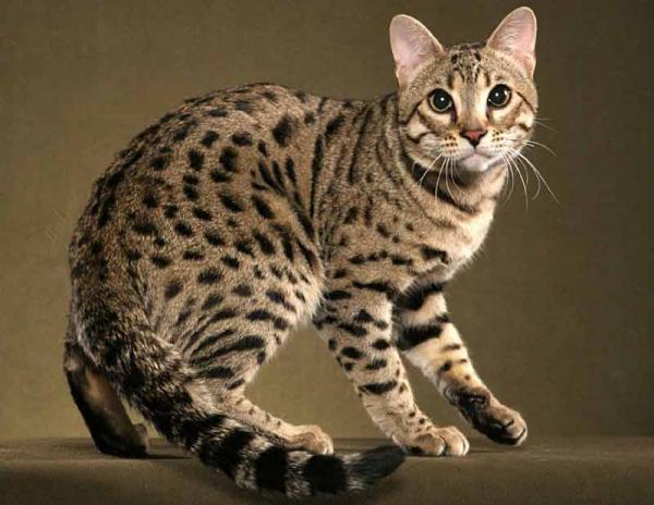 Самые красивые кошки фото - Бенгальская кошка