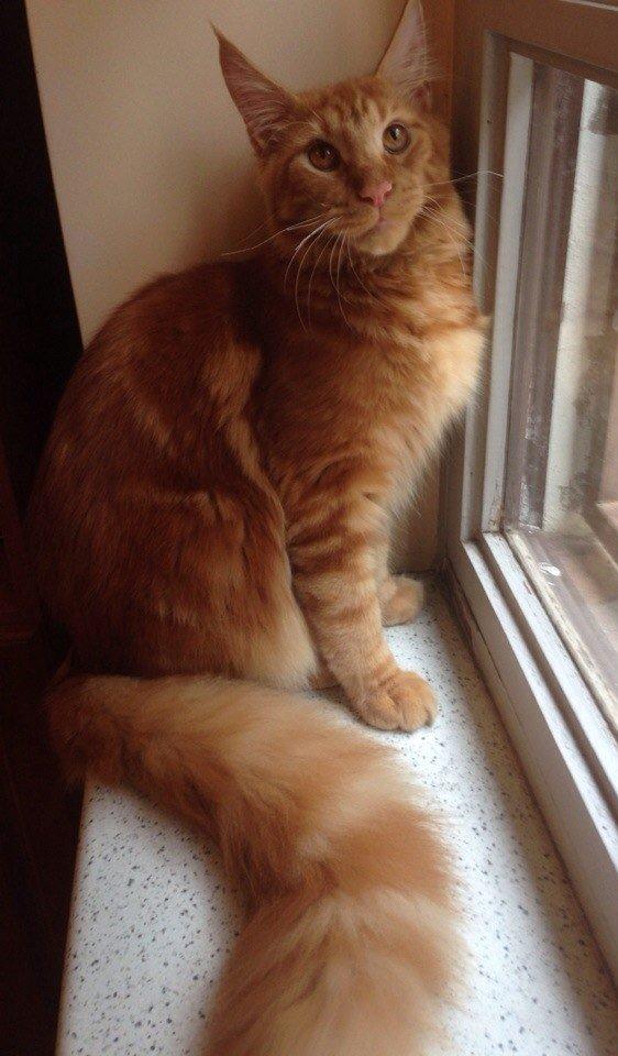 Самые дорогие кошки планеты фото - мейн-кун (кот Джаффар)