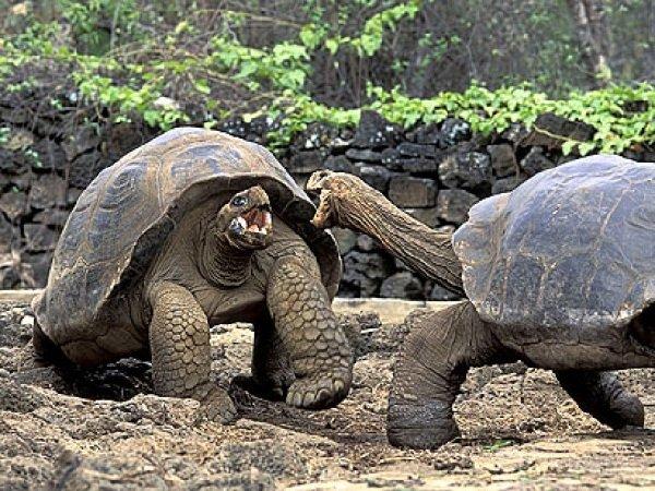 Любовь у черепах длится столетиями!