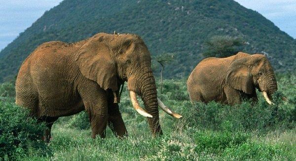 Самые большие животные в мире фото - Африканский слон