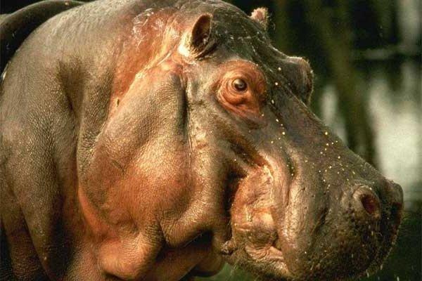 Самые большие животные в мире фото - Бегемот