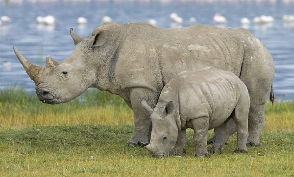 Самые большие животные в мире фото - Белый носорог