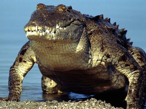 Самые большие животные в мире фото - Морской крокодил