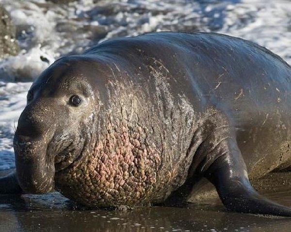 Самые большие животные в мире фото - Морской слон