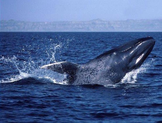 Самые большие животные в мире фото - Синий кит