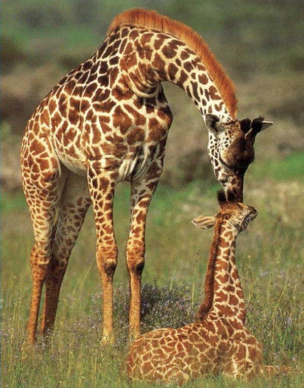 Самые большие животные в мире фото - Жираф