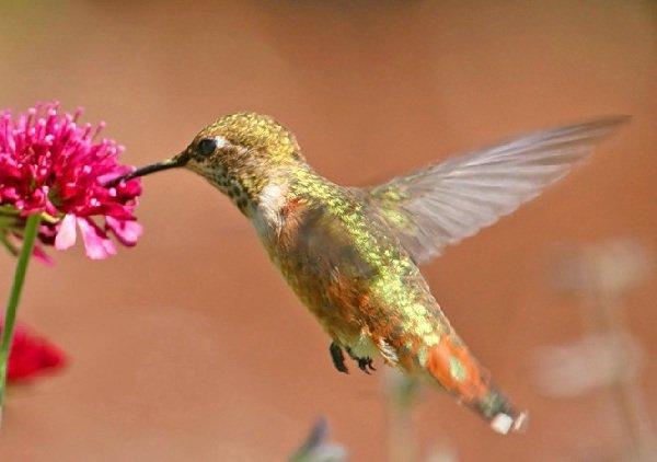 Самые маленькие животные в мире фото - Колибри