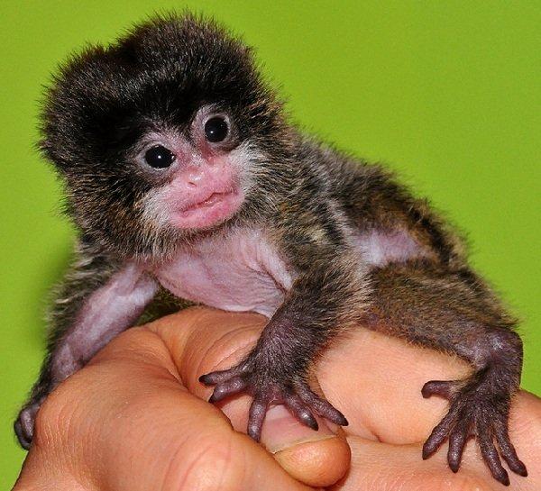 Самые маленькие животные в мире фото - Лемуры игрунки