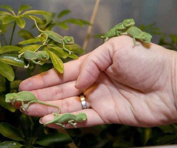 Самые маленькие животные в мире фото - Маленький хамелеон