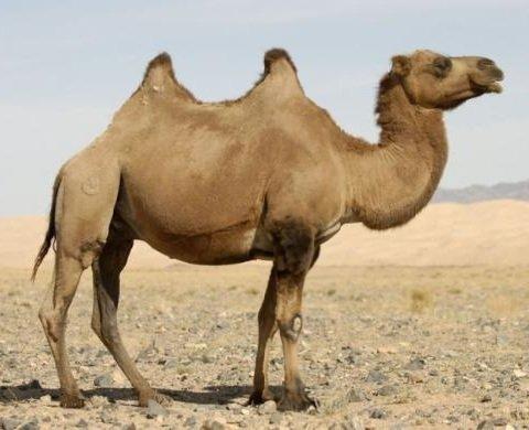 Верблюды — интересные факты