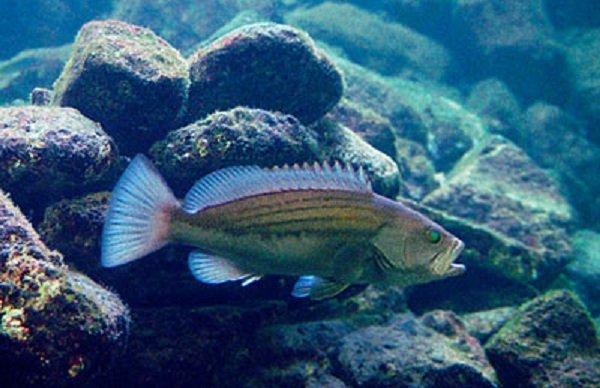 Животные долгожители фото и описание - Морской окунь