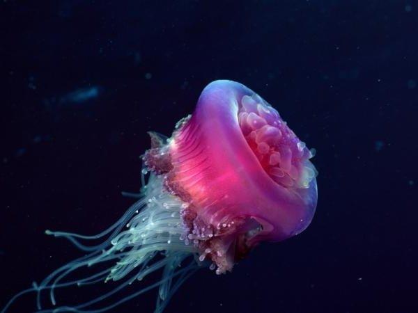 Животные долгожители фото и описание - Медуза