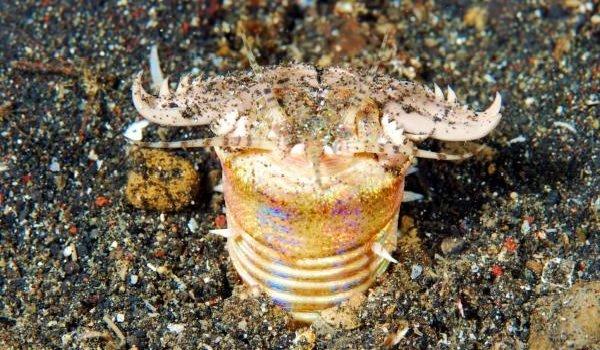 Морские животные фото - похожи на инопланетян - Пурпурный австралийский червь
