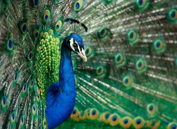 Красивые птицы нашей земли фото - Павлин