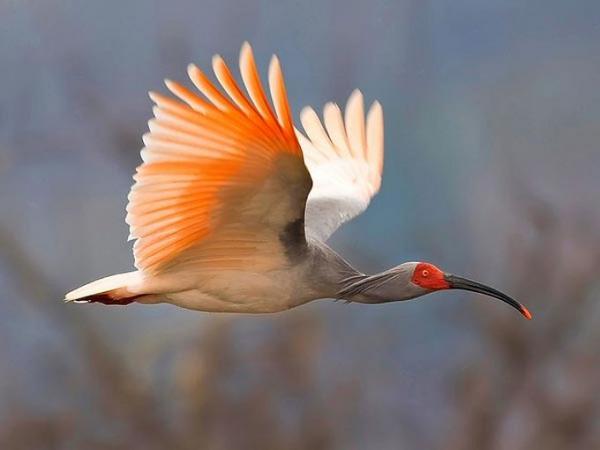 Самые редкие птицы фото и описание - Азиатский Ибис
