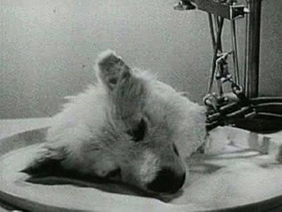 Эксперименты над животными фото и описание - Собачья голова