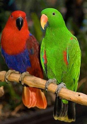 Говорящие попугаи фото и описание самых красивых - Благородный попугай
