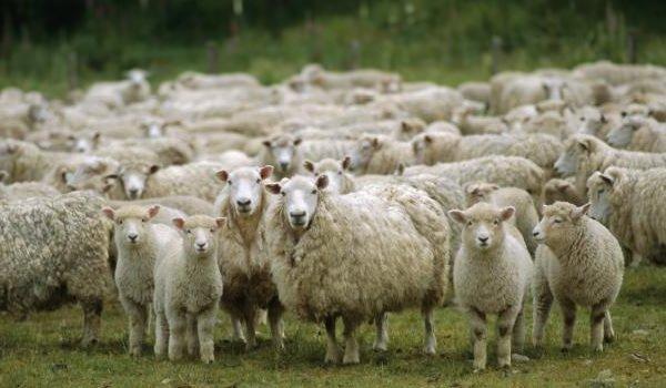 Интересные факты о животных - ошибочные мнения людей - овцы очень умные!