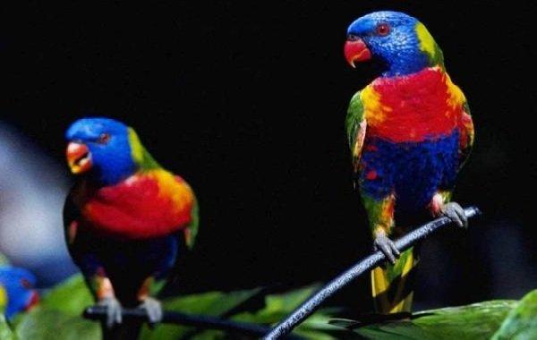 Красивые птицы нашей земли фото - Лориевые попугаи