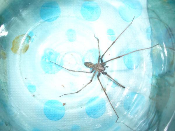 Самые большие пауки фото и описание - Тегенария стенная