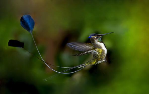 Самые редкие птицы фото и описание - Дивный Шпательтэил