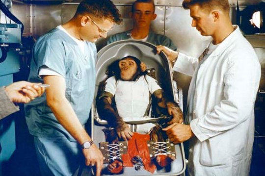 Самые известные животные в мире - Шимпанзе Хэм