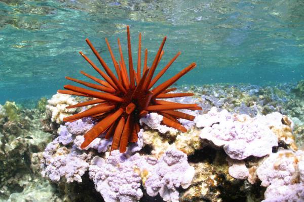 Животные долгожители фото и описание - Красный морской еж
