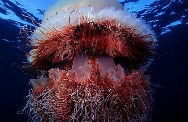 Морские жители фото и описание - Арктическая цианея
