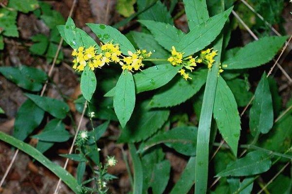 Исчезающие растения фото и описание - Энрубио