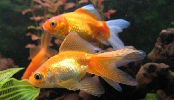 Интересные факты о животных - ошибочные мнения людей про золотых рыбок