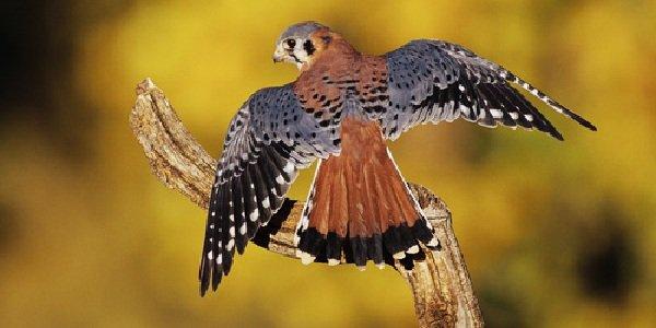 Красивые птицы нашей земли фото - Американская пустельга