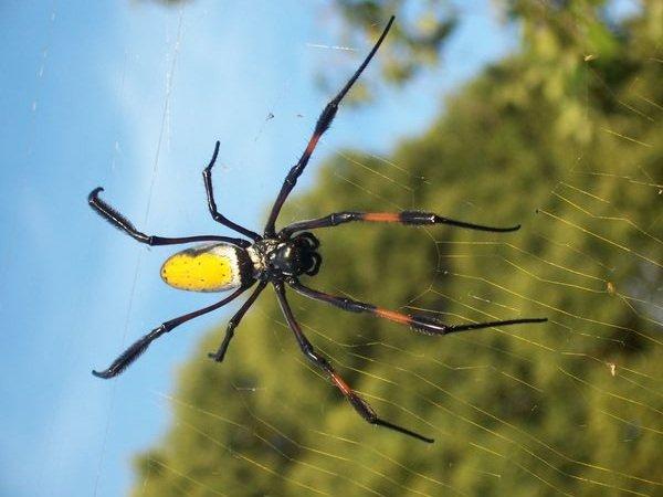 Самые большие пауки фото и описание - Нефила-золотопряд