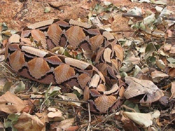 Маскировка животных фото и описание - Габонская гадюка