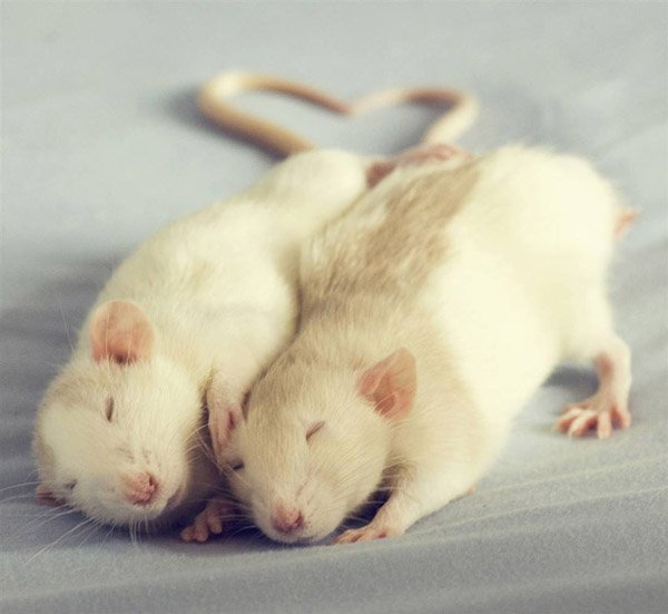 Самые хитрые животные фото и описание - Крысы