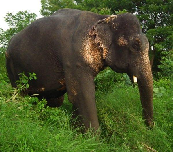 Животные преступники - арестованы полицией фото - Слон Бхола