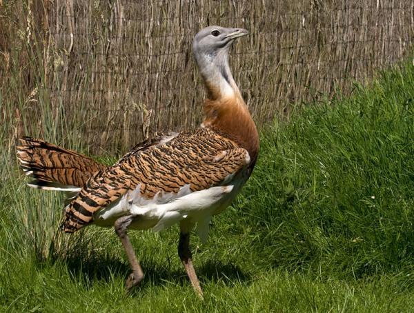 Самые редкие птицы фото и описание - Индийский Дрофа